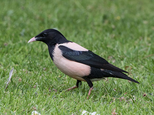 Rose-coloured Starling - J Clarkson