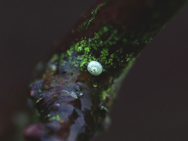 Brown Hairstreak egg