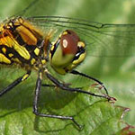 The Darters - <i>Sympetrum</i> spp.