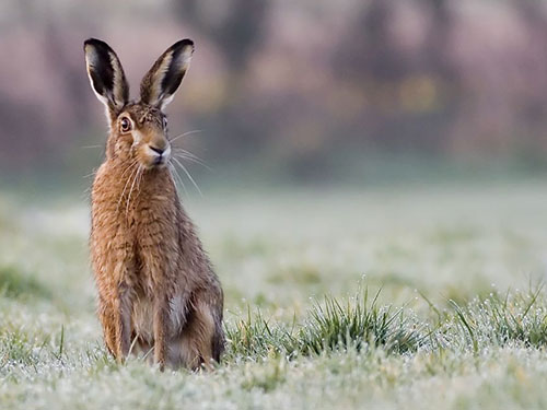 Brown Hare photo Damian Waters