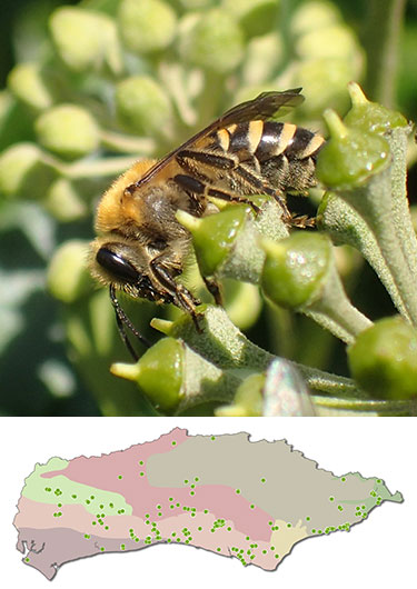 Ivy Bee, Colletes_hederae