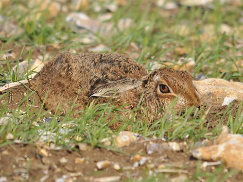 Brown Hare photo Bob Eade
