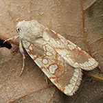 Heart Moth (<i>Dicycla oo</i>)