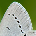 Holly Blue <i>Celastrina argiolus</i>