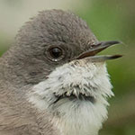 Lesser Whitethroat <i>Curruca curruca</i>