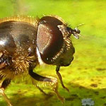 Tapered Drone Fly, <i>Eristalis pertinax</i>