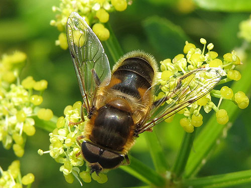 Male Eristalis pertinax - photo: Steven Falk