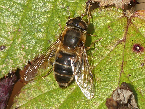 Female Eristalis pertinax - photo: Mike Mullis