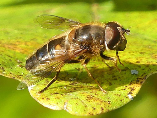 Male Eristalis pertinax - Photo: Mike Mullis
