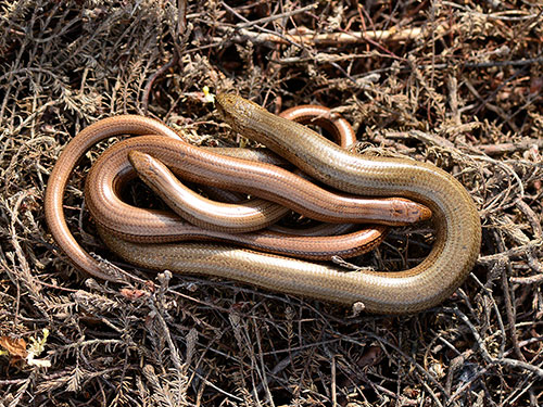 Slow-worms