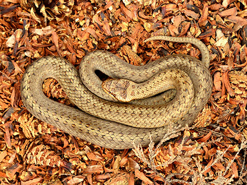 Male Smooth Snake