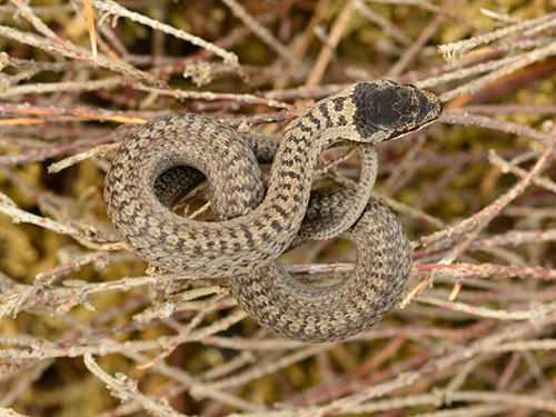 Smooth Snake neonate